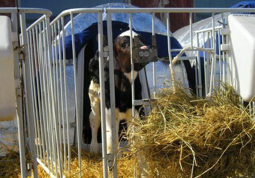 Теплый домик для теленка